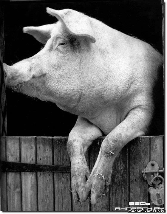 Секс женщин и свиньи 20 фотография